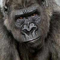 Annoyed gorilla